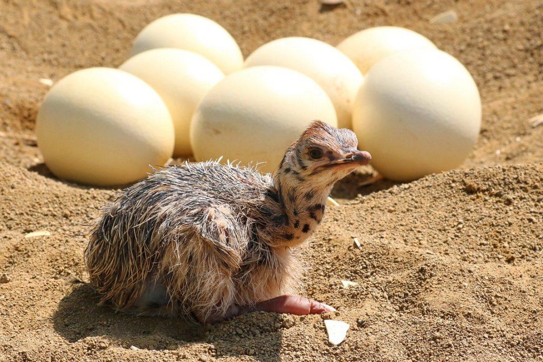 Oeuf d autruche : Top 5 des faits incroyables sur l'œuf d'autruche